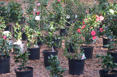Flower Shop Nursery Camellias Tallahassee and North Florida