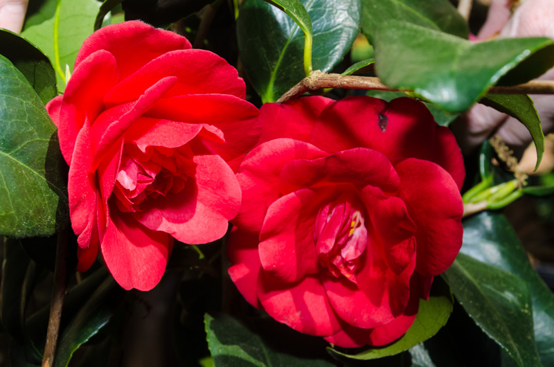 Our camellias flowers tallahassee camellias plants for Camelia rossa