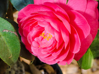 nusery tallahassee camellias